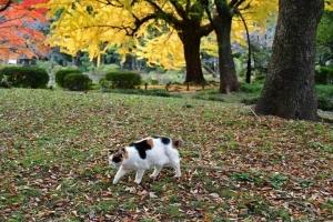茶色い落ち葉の上を歩く日比谷公園の三毛猫さくら