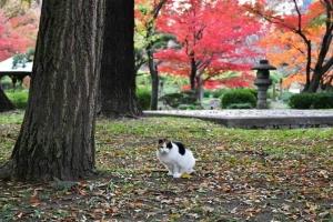 日比谷公園の三毛猫さくらと背景の赤いもみじ