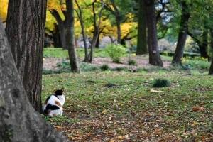 日比谷公園の三毛猫さくらの後ろ姿とイチョウの紅葉(黄葉)