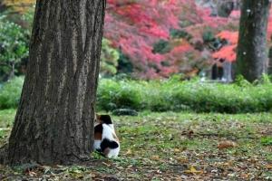 日比谷公園の三毛猫さくらの後ろ姿とモミジの紅葉