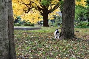 伸びをする日比谷公園の三毛猫さくらと黄金の銀杏