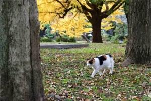 横切って歩く日比谷公園の三毛猫さくらと黄金の銀杏