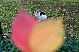 桜の落ち葉2枚と日比谷公園の三毛猫さくら