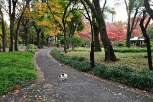道を横切る日比谷公園の三毛猫さくらと紅葉