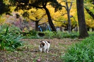 後ろから日比谷公園の三毛猫さくらと銀杏の黄葉(紅葉)
