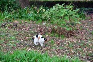 緑の草木と茶色い落ち葉の中で爪とぎをする日比谷公園の三毛猫さくら