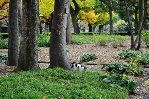 日比谷公園の紅葉と道に出る途中で爪とぎをする三毛猫さくら
