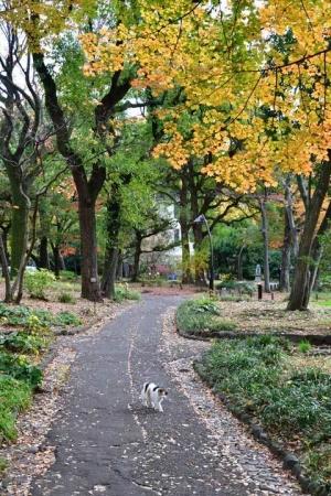 日比谷公園のユリノキ(チューリップツリー)紅葉の下を歩く三毛猫さくら