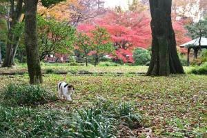 日比谷公園の紅葉が見える場所を歩く三毛猫さくら