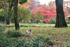 日比谷公園の紅葉が見える場所に座る三毛猫さくら