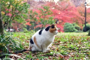 日比谷公園の紅葉を背景に何かを見ている三毛猫さくら