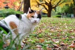 日比谷公園の紅葉を背景にピントがボケた三毛猫さくら