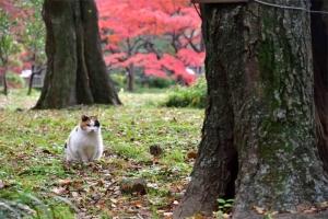 日比谷公園の紅葉と2本の木と三毛猫さくら