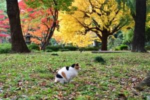 日比谷公園の紅葉と西を向く三毛猫さくら
