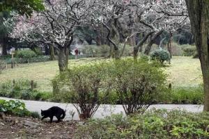 日比谷公園の梅林と黒猫