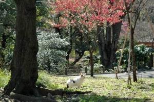 日比谷公園のカンヒザクラと白黒猫