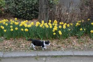 日比谷公園のスイセンと黒白猫