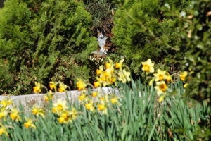 日比谷公園のスイセンと三毛猫