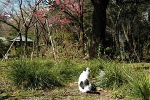 日比谷公園の白黒猫とカンヒザクラ
