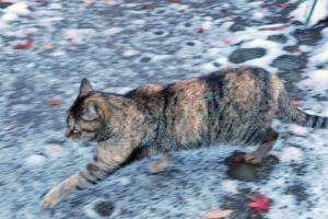 雪の日比谷公園のサビトラ猫ハナちゃん