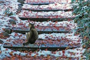 雪と紅葉の落ち葉の階段のキジ白猫@日比谷公園