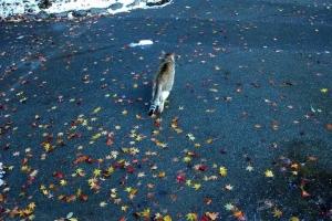 雪と紅葉の落ち葉とキジ白猫@日比谷公園
