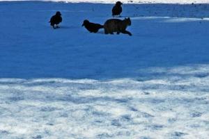 日比谷公園 雪の上のカラスと猫