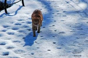 日比谷公園 雪の上を歩く茶トラ猫
