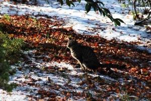 日比谷公園 キジトラ猫 落ち葉と雪の上で…排泄…