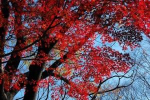 日比谷公園 元日の紅葉