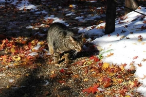 日比谷公園 雪の上のモミジの落ち葉とキジトラ猫