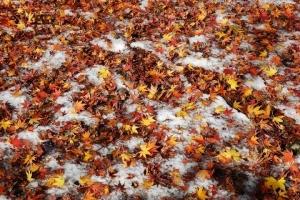 日比谷公園 雪の上のモミジの落ち葉