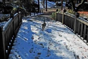日比谷公園 雪の積もった橋を渡るキジトラ猫