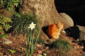 日比谷公園 スイセンと茶トラ猫