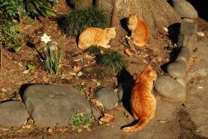 日比谷公園 茶トラ猫3匹
