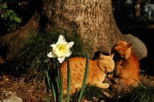 日比谷公園 スイセンと茶トラ猫2匹