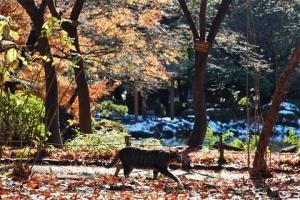 日比谷公園 元日の紅葉と歩くキジトラ猫