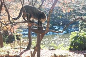日比谷公園 木の上のキジトラ猫と背景の紅葉