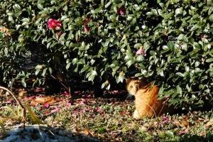 日比谷公園 茶トラ猫とサザンカ