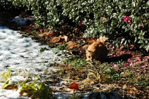 日比谷公園 雪と茶トラ猫
