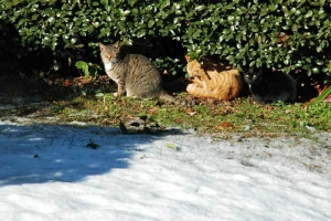 日比谷公園 雪と三猫(キジトラ白猫、茶トラ猫、黒白猫)