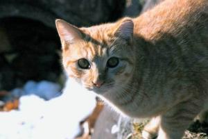 日比谷公園 茶トラ猫