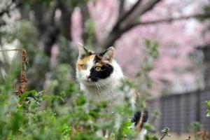 キメラっぽい猫で大寒桜猫@日比谷公園