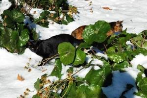 日比谷公園 雪と黒猫とサビ猫