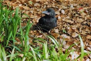 日比谷公園 巣から落ちたカラスの子