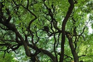 日比谷公園 カラスの巣がある辺り(クスノキ)
