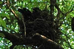 日比谷公園 カラスの巣