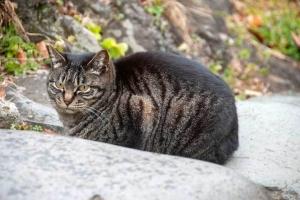 日比谷公園のキジトラ猫
