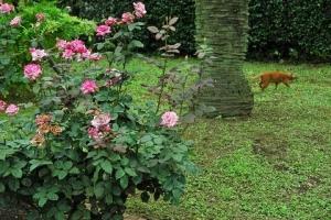 日比谷公園の茶トラ猫とバラ