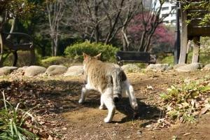日比谷公園のキジトラ白猫と遠くの紅梅